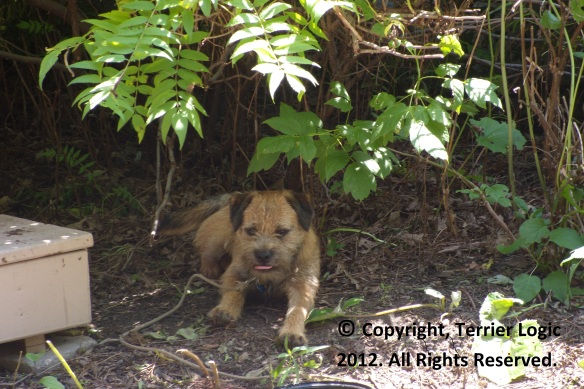 Border Terrier Waits