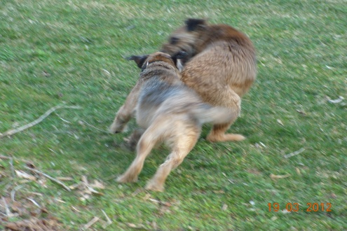 Terrier Joy. Terrier Play.
